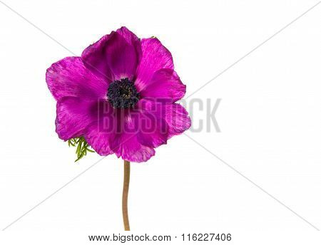 Pink blooming anemone