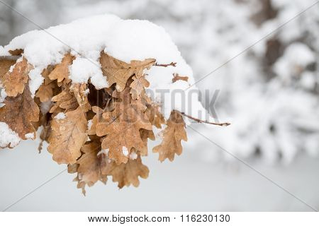 Oak Leaves Under Snow.