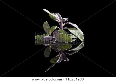 Sage Herb Isolated On Black Background.