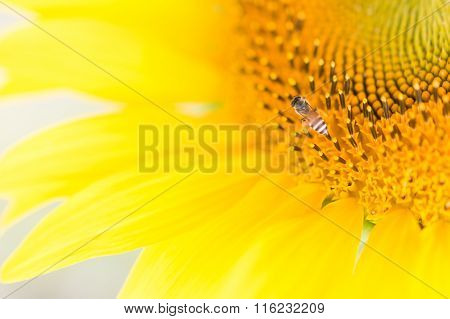 Bees Hive Pollinate Sunflower. Bee Produces Honey On A Flower. Summer Background.