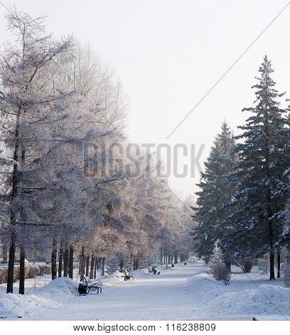 Alley snowy spruce