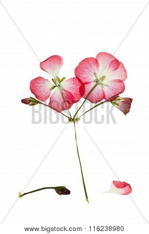 Pressed And Dried Bush With Pink  Flower Geranium Or Pelargonium
