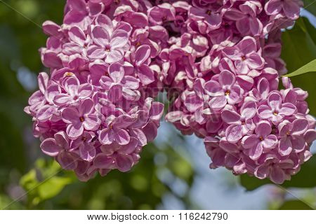 Pink Flower Of Lilac