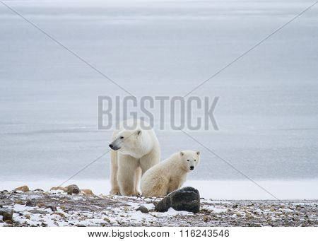 Polar Bear Mom And Cub Rest