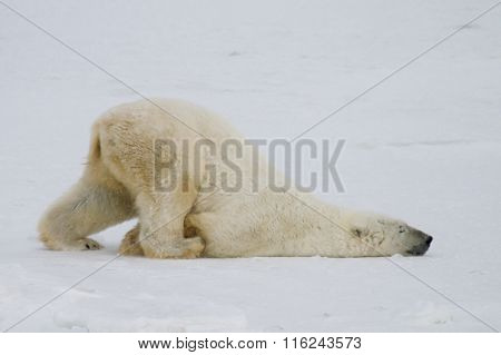 Polar Bear Slide