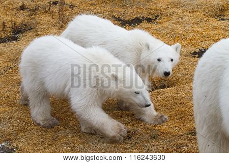 Polar Bear Twin Cubs walking behind mom in step