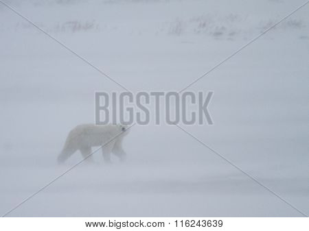 Polar Bear walks in whiteout snow and faces camera