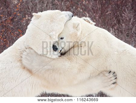 Polar Bears Sparring Wrestling Clawing And Biting