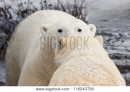 Two Polar Bears Greeting Nose to Nose