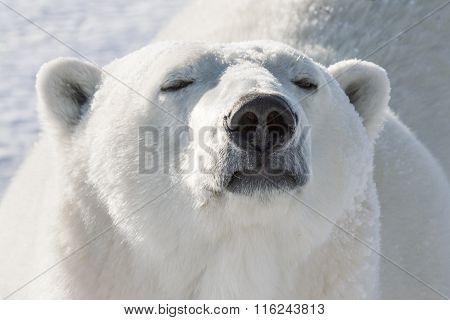 Polar Bear Smelling