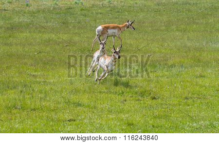 Pronghorn Antelope Chasing And Running