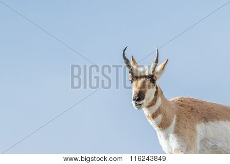 Pronghorn Buck Smiling
