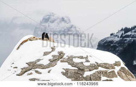 Raven Pair In Snowy Mountains