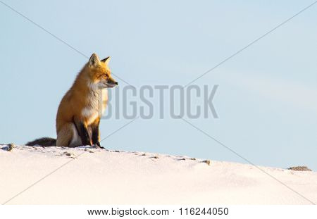 Red Fox Snowy Ridge