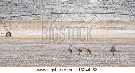 Sandhill Cranes Birds Forage Agriculture Pasture
