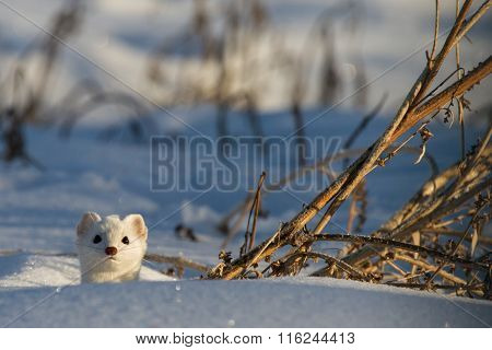 Weasel Pops Head Through Snow