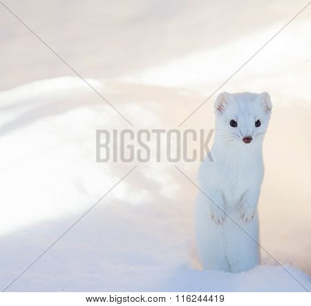 White Ermine Weasel Standing In Deep Snow
