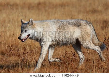 grey wolf of yellowstone in brown grass