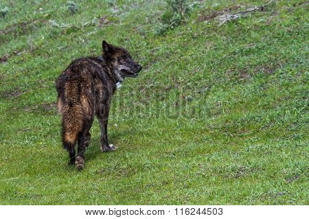 Black Wolf Of Yellowstone