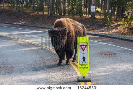Bison Next To Yield To Pedestrians
