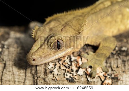 New Caledonian Crested Gecko On A Branch