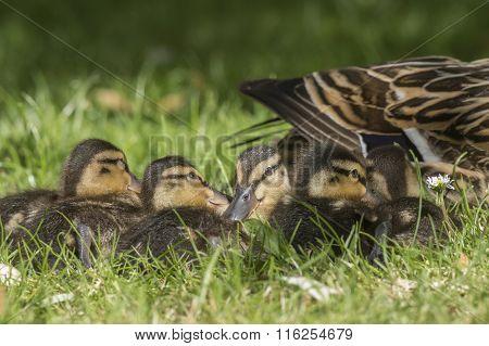 Mallard family on the grass close up