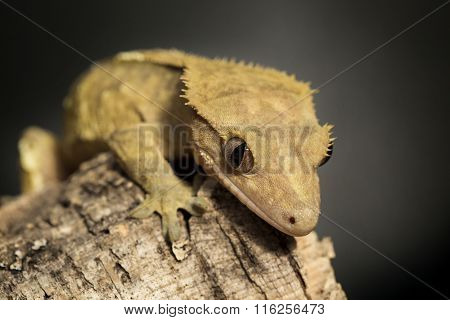 New Caledonian Crested Gecko On A Tree Trunk