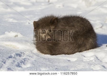 Commanders Blue Arctic Fox Who Sleeps Curled Up Winter Day