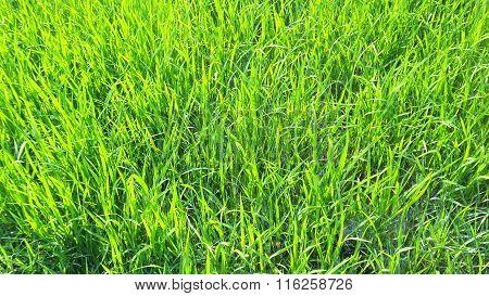 Fresh green long grass background