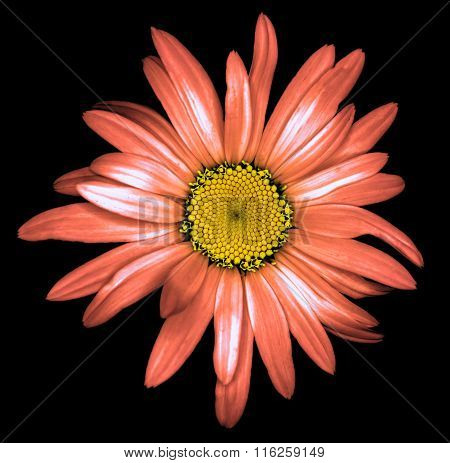 Surreal Dark Chrome Strange Daisy Flower Macro Isolated On Black