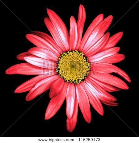 Surreal Dark Chrome Acid Red Daisy Flower Macro Isolated On Black