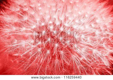 Tender Soft Colors Red Styled Dandelion Flower Macro Background