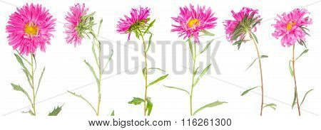 Set Asters Flower Isolated On White Background