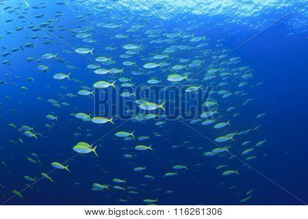 Shoal sardines fish