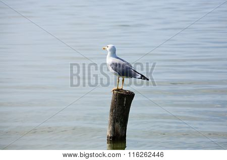 Gull Standing On Palisade