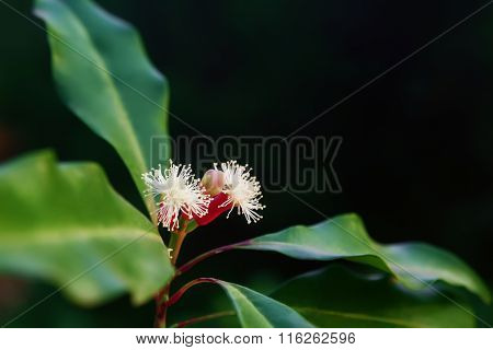 Clove Tree With Spicy Raw Flowers And Sticks