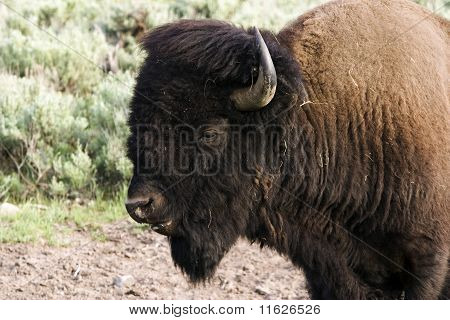 Buffalo portrait