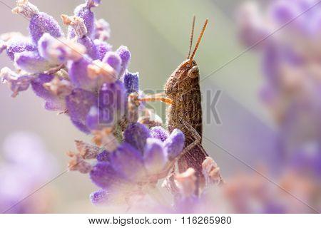 Grasshopper On Lavender