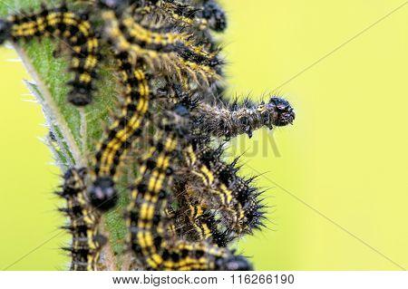 Caterpillars On Nettles