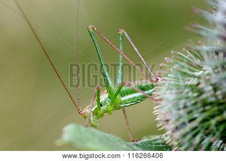 Green Grasshopper With Long Antennae