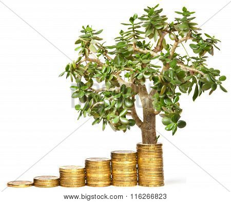 Crassula On A Stack Of Coins Concept On A White Background