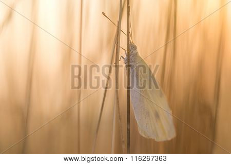 White Butterfly On Blade Of At Sunrise