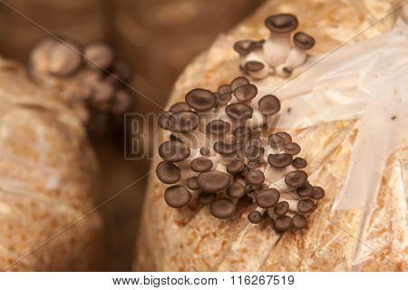 Oyster Mushrooms Grow On A Mushroom Farm