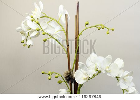 White Silk Orchid Flowers Plant