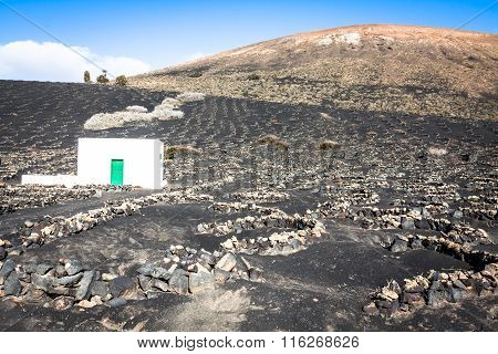 Vineyard On Black Volcanic Soil In La Geria Area. Lanzarote.canary Islands.spain