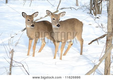 Whitetail Deer Yearling And Doe