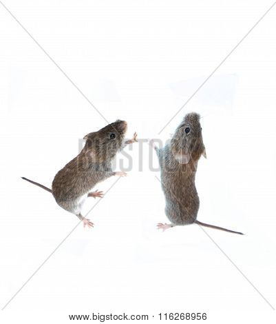 Two Little Gray Mouse Standing On Its Hind Paws And Looking Up Isolated