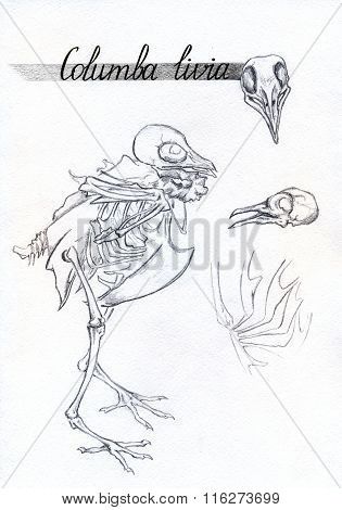 Monochrome Skeleton Skull Bones Dove Pigeon Bird Animal Ink Sketch
