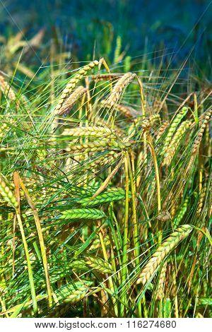 Golden Cornfields In Detail