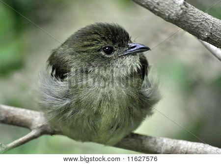 Female Manakin bird